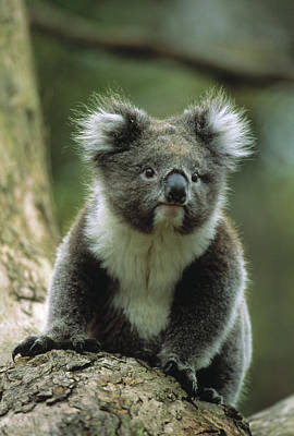 Koala Wall Art - Photograph - Koala On A Tree by Animal Images