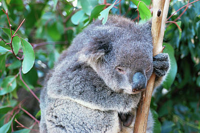 Koala Wall Art - Photograph - Koala by Pasquale Sorrentino/science Photo Library
