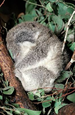 Koala Wall Art - Photograph - Koala by Patrick Landmann/science Photo Library
