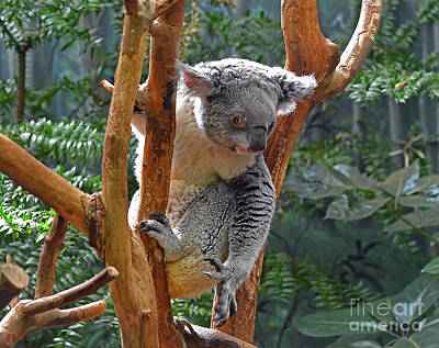 Photograph - Koala by Rodney Campbell