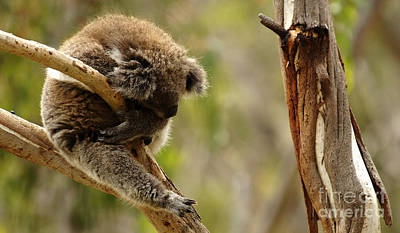 Photograph - Koala Sleeping It Off In Australia by Bob Christopher