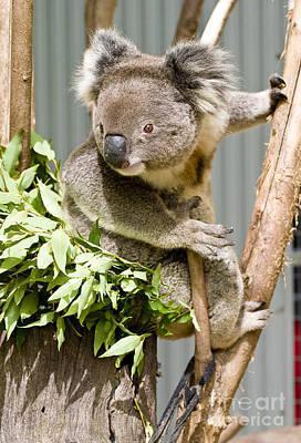 Photograph - Koala by Steven Ralser
