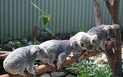 Photograph - Koala Team by Tony Mathews
