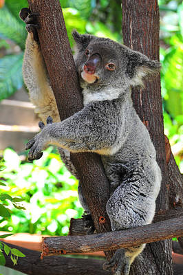 Photograph - Koala Up A Tree by Harry Spitz