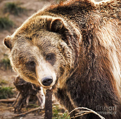 Photograph - Kodiak Bear by David Millenheft