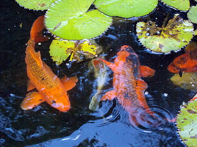 Photograph - Koi 1 by Sheri McLeroy