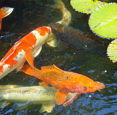 Photograph - Koi 2 by Sheri McLeroy