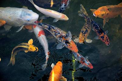 Photograph - Koi by Bob Wall