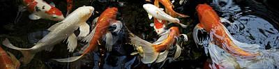 Domestic Animals Photograph - Koi Carp Swimming Underwater by Panoramic Images