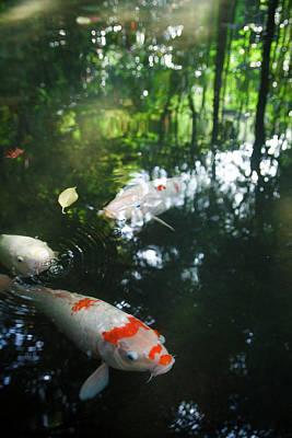 Photograph - Koi Carps Swimming In A Pond by Masahiro Makino
