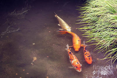 Photograph - Koi by Cindy Garber Iverson