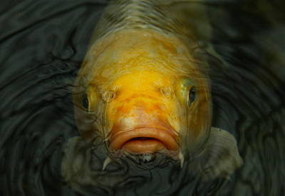 Photograph - Koi Close Up by Denise Mazzocco