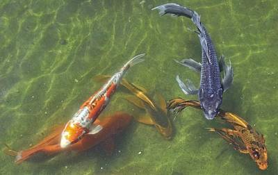Photograph - Koi by Daniel Sheldon