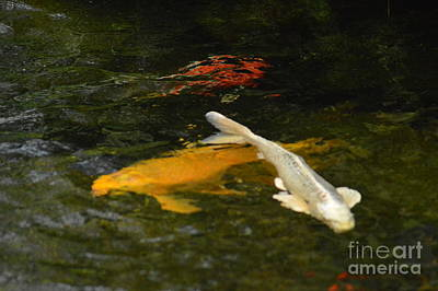 Photograph - Koi Dream by Tim Good