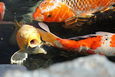 Koi Fish Photograph - Koi Fish by Catie Sorensen