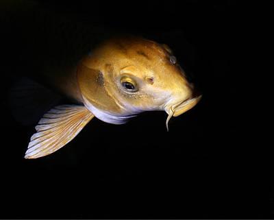Photograph - Koi Fish by Erin Tucker