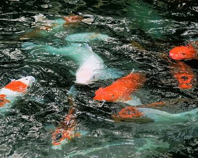 Photograph - Koi Freenzie by Sheri McLeroy