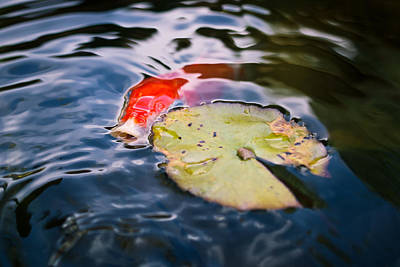 Lily Pad Photograph - Koi In Autumn by Priya Ghose