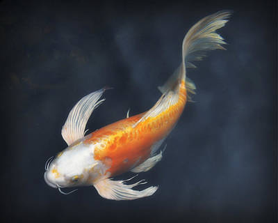 Photograph - Koi by Jeff Cook