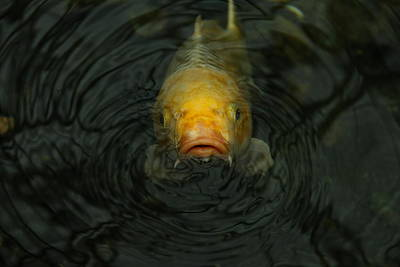 Photograph - Koi  by Denise Mazzocco