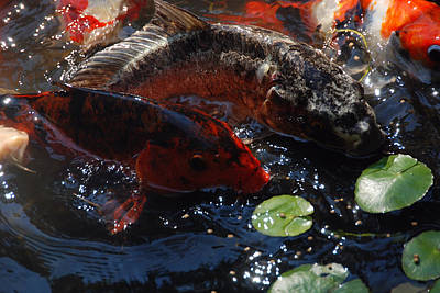 Photograph - Koi Outta' Water by John Schneider