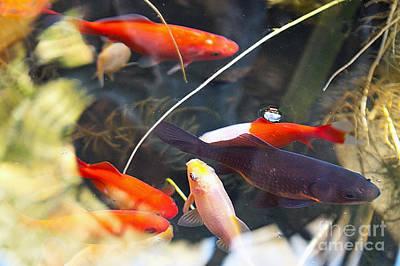 Koi Pond The Symbol Of Love And Friendship Art Print