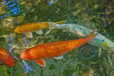 Photograph - Koi Pool by Gene Norris