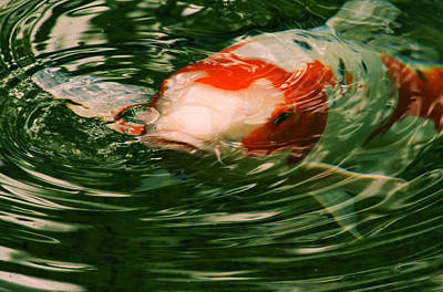 Photograph - Koi To The Surface by Nadalyn Larsen