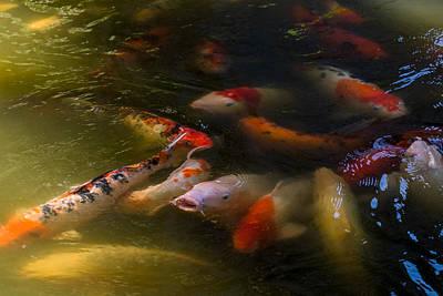 Fish Photograph - Koi  by Zina Stromberg
