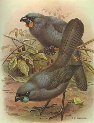 New Zealand Painting - Kokado by Dreyer Wildlife Print Collections