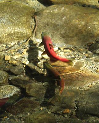 Photograph - Kokanee Salmon 01 by Ernie Claudio