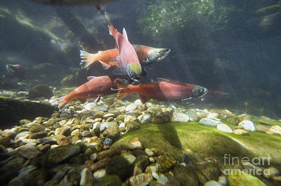 Kokanee Salmon Photograph - Kokanee Salmon In Spawning Colors by William H. Mullins