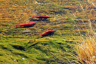 Kokanee Salmon Photograph - Kokanee Salmon by Johnny Adolphson