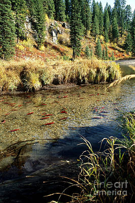 Kokanee Salmon Photograph - Kokanee Salmon Spawning by William H. Mullins