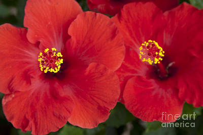 Kokio Ulaula - Tropical Red Hibiscus Art Print by Sharon Mau