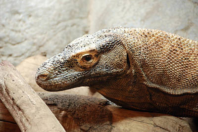 Photograph - Komodo Dragon by John Schneider