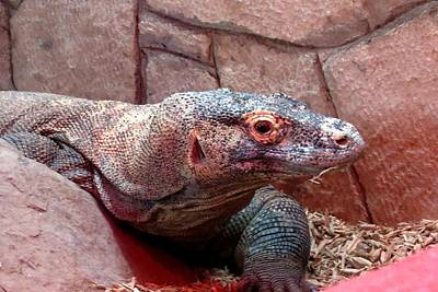 Photograph - Komodo Dragon by Marilyn Burton