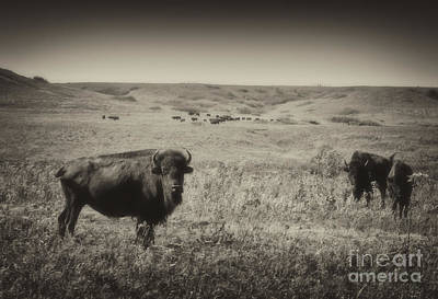 Photograph - Konza Bison by Fred Lassmann