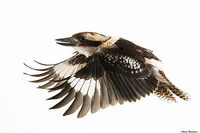 Kookabura In Flight Art Print