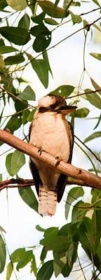 Photograph - Kookaburra 2 by Carole Hinding