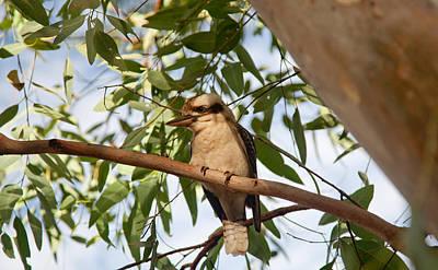 Photograph - Kookaburra 3 by Carole Hinding
