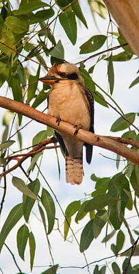 Photograph - Kookaburra by Carole Hinding