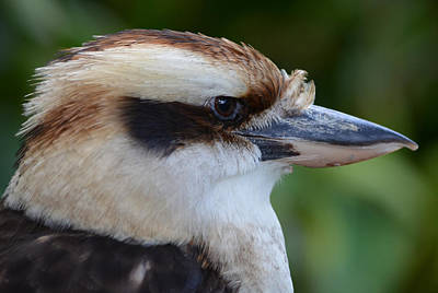 Photograph - Kookaburra by Richard Bryce and Family