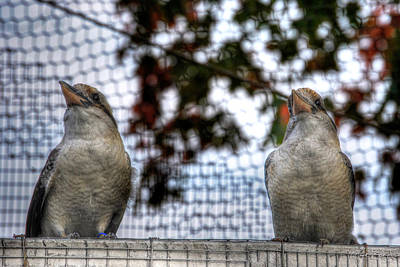 Vintage College Subway Signs Color - Kookaburras on Guard at the Buffalo Zoo by Michael Frank Jr