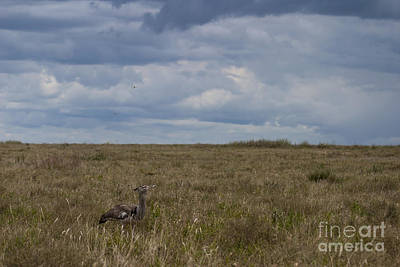 Animals Royalty-Free and Rights-Managed Images - Kori Bustard   #0480 by J L Woody Wooden