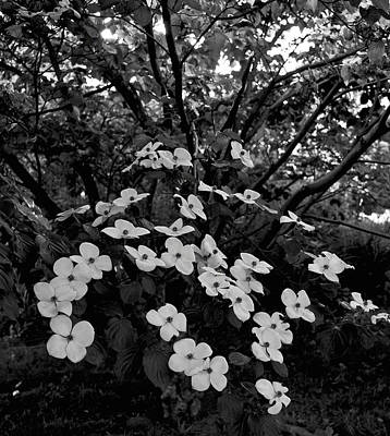 Photograph - Kousa Dogwood IIi by Michael Friedman