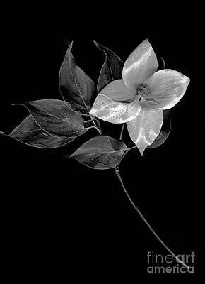 Digital Art - Kousa Dogwood In Black And White by Sharon Talson