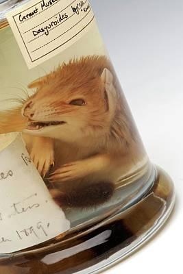 Bushy Tail Photograph - Kowari Specimen by Ucl, Grant Museum Of Zoology
