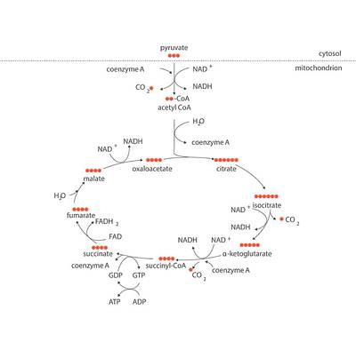 Krebs Metabolic Cycle Print by Science Photo Library