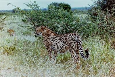 Krugger Cheetah Art Print